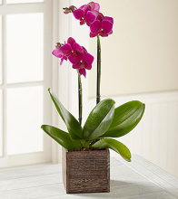Fuchsia Orchid In Wooden Planter